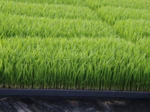 静岡のお米育苗