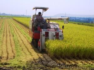 稲刈り脱穀